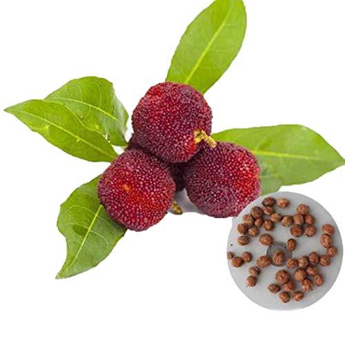 Declare Perennial Bonsai Mini Yang Mei Seeds Bonsai Outdoor Plant Seeds Fruits