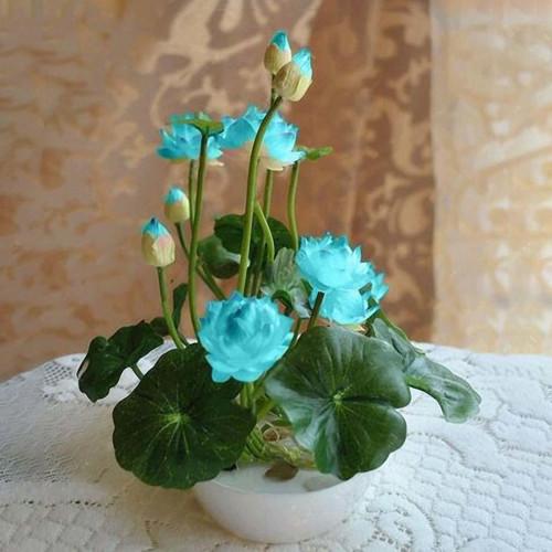 Snagshout Dongdongole Garden Mini Lotus Flower Seeds Nelumbo